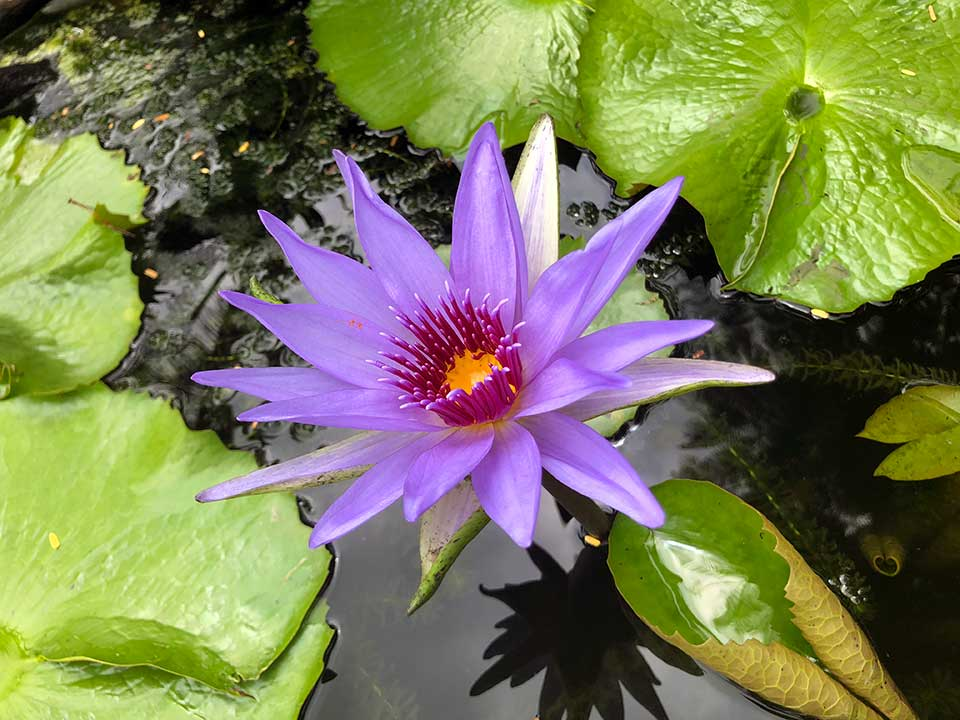 lotus flower at Vallarta Botanical Gardens, ©svduewest.com