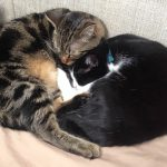 Yin-Yang Cat Hearts