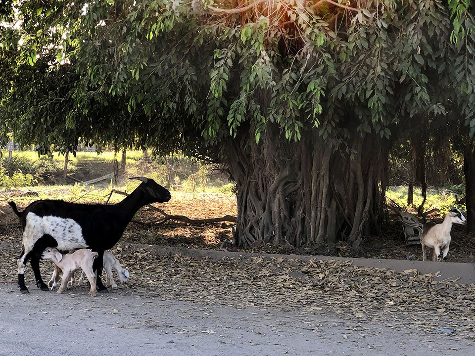 Goats in the road, Melaque, Mexico